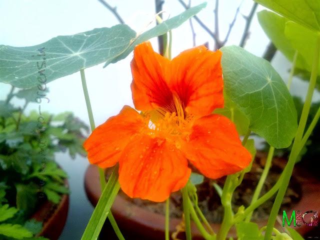 Metro Greens: Orange Nasturtium Bloom