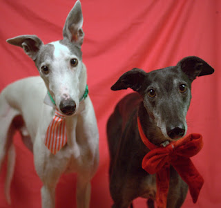 Blue and Bettina greyhound in their finest Christmas duds