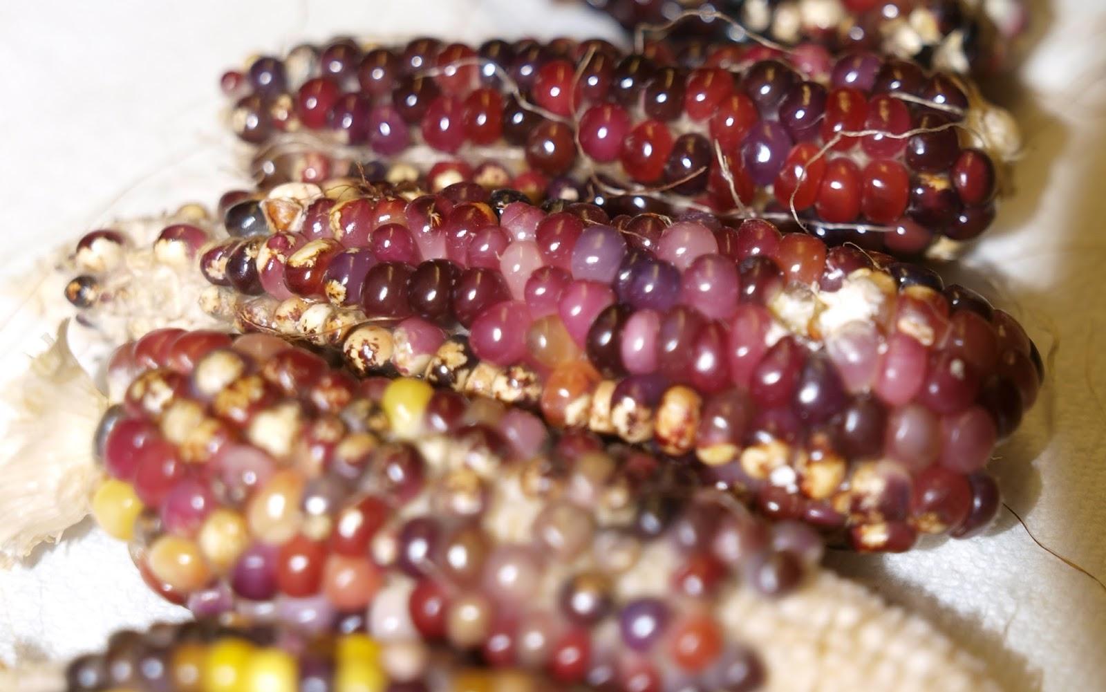 Hopi Glass Corn flint corn with kernels like beads of glass