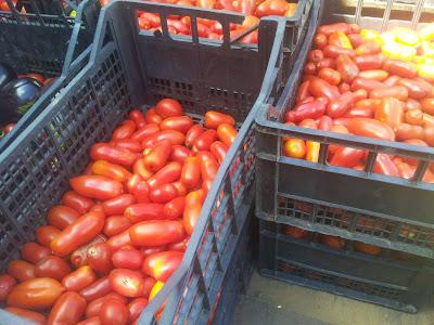 Pomodori raccolti a Corrameana, Perfugas, Sassari, Sardegna