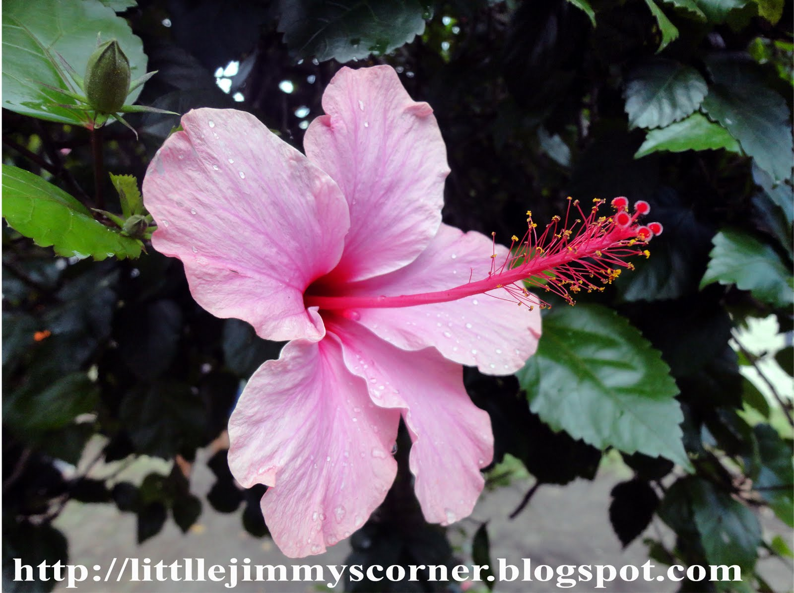 gumamela hibiscus rosa sinensin linn flowers as an anti inflammatory ointment