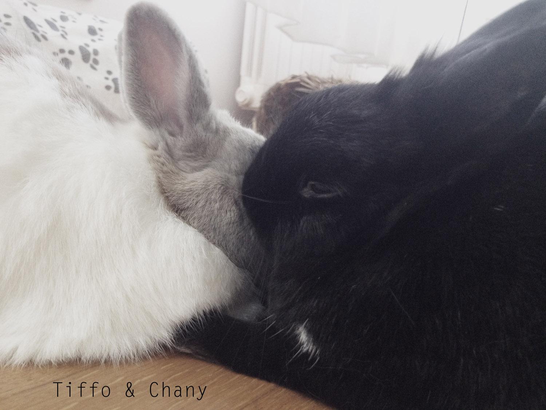 tiffo e chany 2 simpatici coniglietti