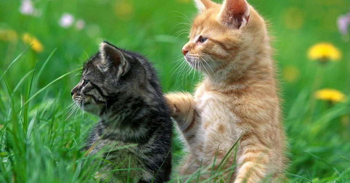 Perawatan Kucing: Gambar Kucing lucu Lagi pacaran