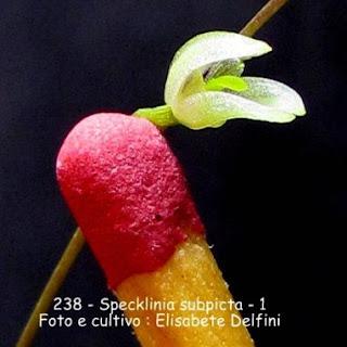 Specklinia subpicta variedade  1 do blogdabeteorquideas
