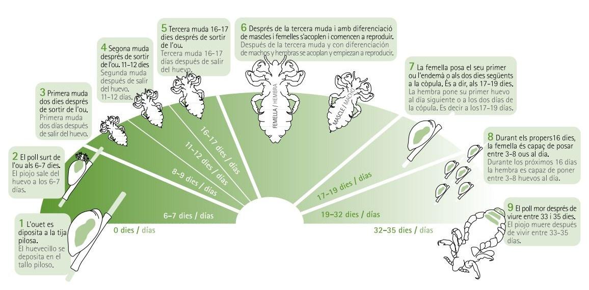 ciclo biológico del piojo