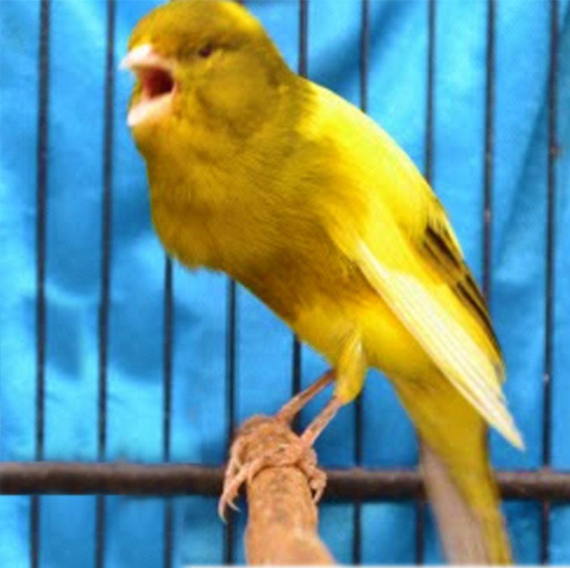 cara merawat burung kenari agar berkicau gacor info