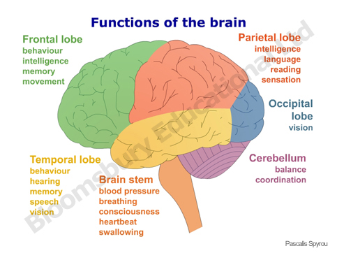 human brain diagram for kids - photo #14