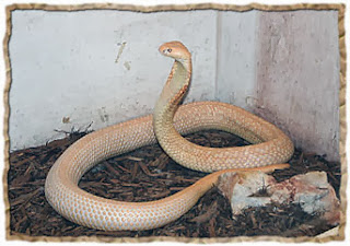 Cobras-naja