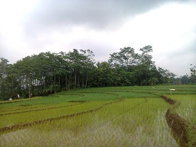 Pemandangan sawah desa Siberuk