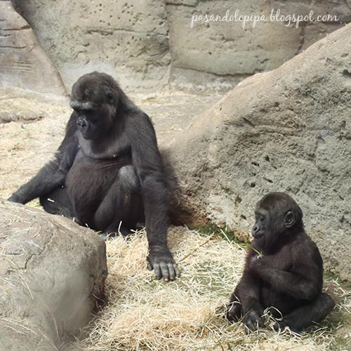 pasandolopipa : gorilas del zoo de madrid