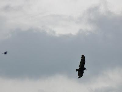 buzzard