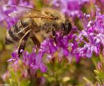 Πεινασμένη Μέλισσα