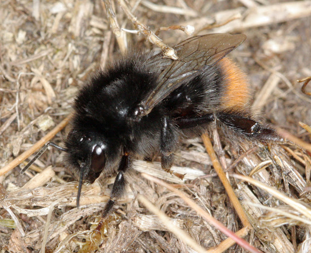 Red-tailed bumble-bee, Bombus lapidarius.  Hayes Common, 18 May 2011.