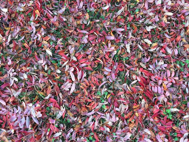 Rowan leaf-fall.  Hayes, 4 November 2015.