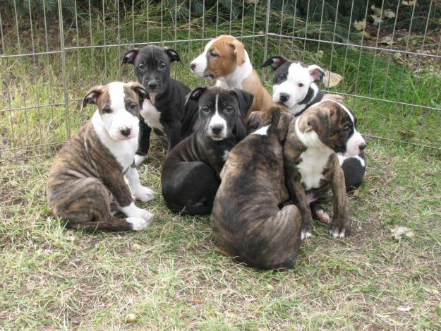 Cute Puppy Dogs Pitbull Puppies