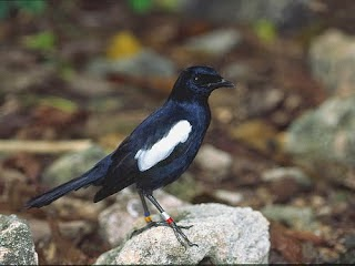 Foto Burung Kacer Jawa Jantan