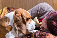 A woman fast asleep with her beagle