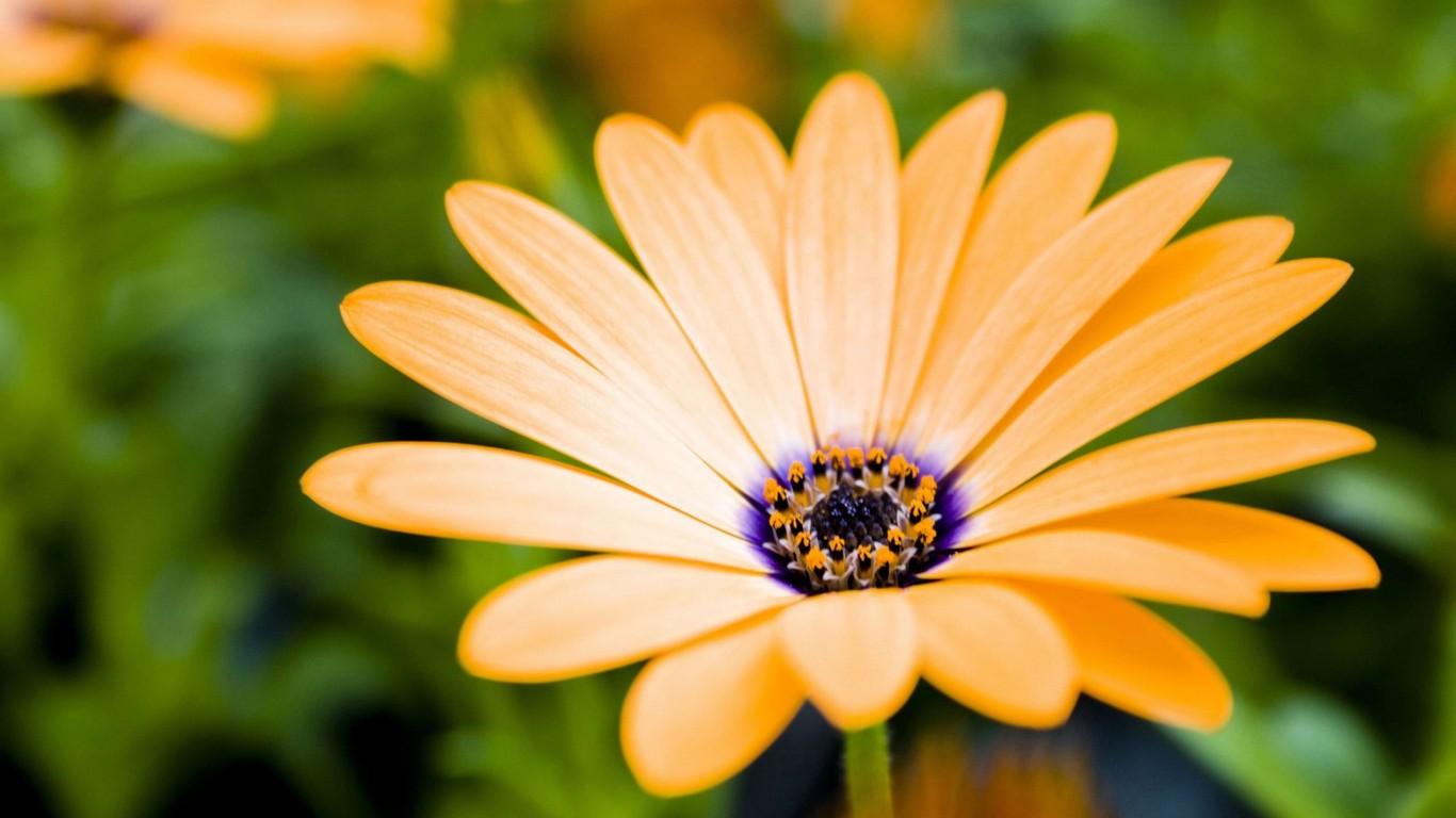 Romantic Flowers Gerbera Daisy Flower
