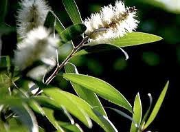 http://indonesian-herbal-medicine.blogspot.com/2015/01/eucalyptus-for-herbal-medicine-and-home.html