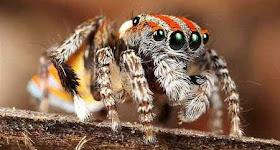 """""""عناكب الطاووس"""" أجمل عناكب العالم 3.jpg"""