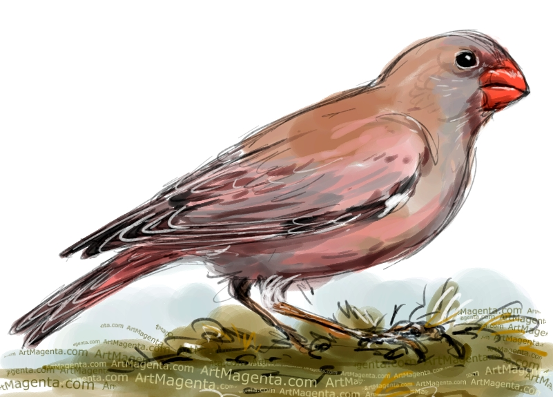 Trumpeter Finch sketch painting. Bird art drawing by illustrator Artmagenta