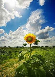Girasol o Sunflower