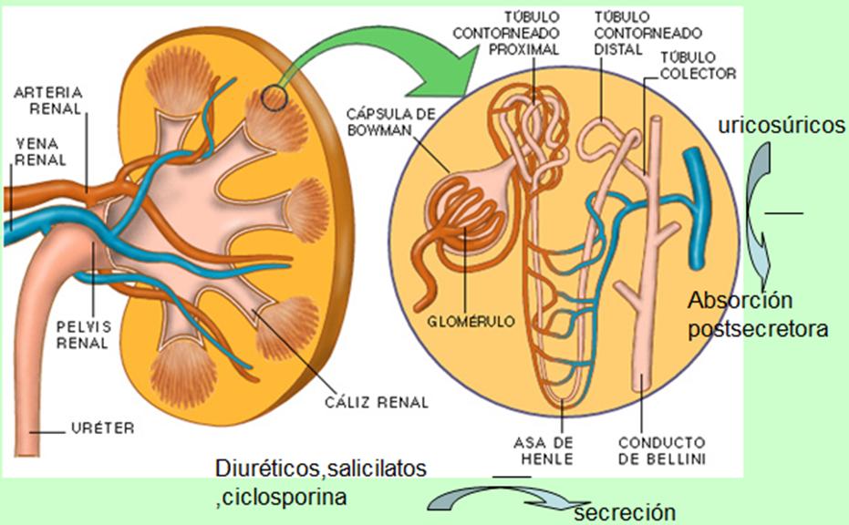 tofos acido urico causas y remedios para la gota alimentos ricos hierro y acido folico