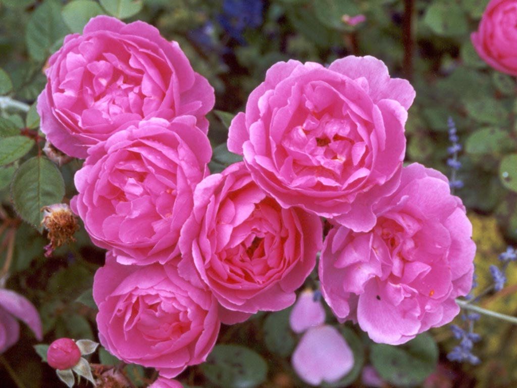 Flowers pictures flowers wallpapers pink roses pink roses izmirmasajfo
