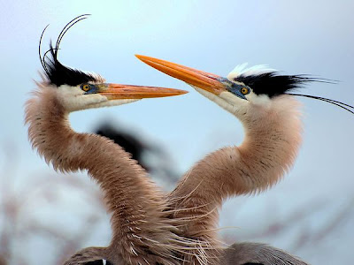 two blue herons picture