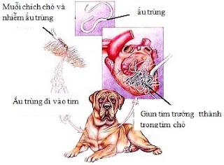 Vòng đời của giun tim trên chó.