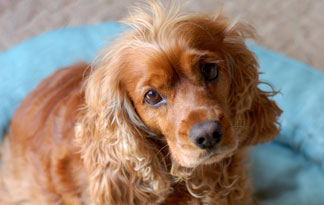 the most charming dogs in the world cocker spaniel perfect friend. Black Bedroom Furniture Sets. Home Design Ideas