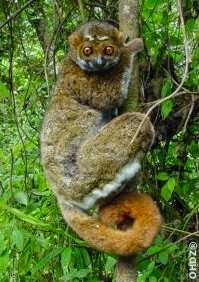 Eastern woolly Lemur