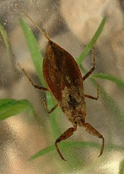 Características, alimentação, reprodução e distribuição do Escorpião de água (Nepa cinerea).