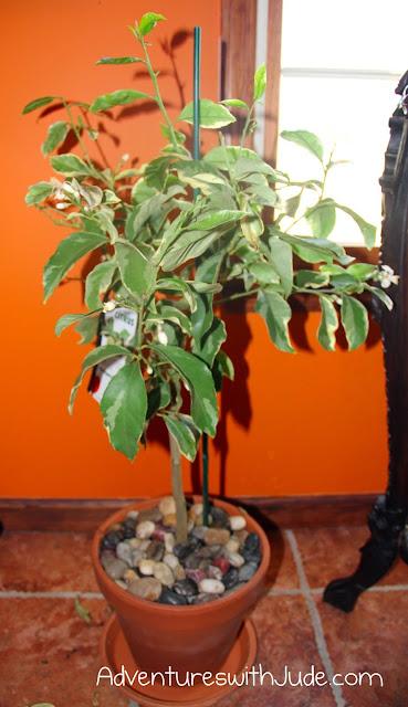 Varigated pink lemon tree