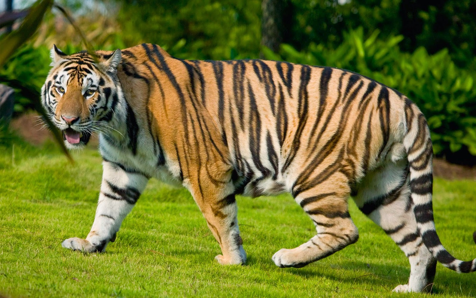 desktop hd wallpapers free downloads: angry tiger hd wallpapers