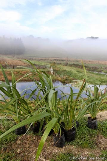 1300 trees, shrubs and flaxes were planted along the Poukawa Stream, the outlet of the Pekapeka Wetlands, Pakipaki, in the early morning mist, an event organised by Hastings-Havelock North Forest and Bird, in partnership with the Hawke's Bay Regional Council. photograph