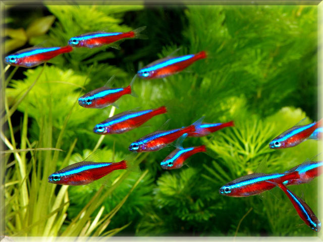 Freshwater fish names starting with n animals name a to z for Neon tetra fish