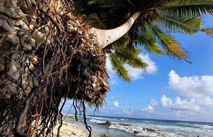 Rễ dừa - Thuyết về cây dừa