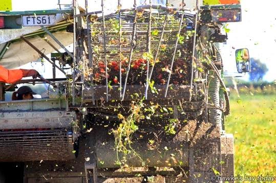 Tomato harvesting in Pakowhai Rd, Pakowhai. photograph