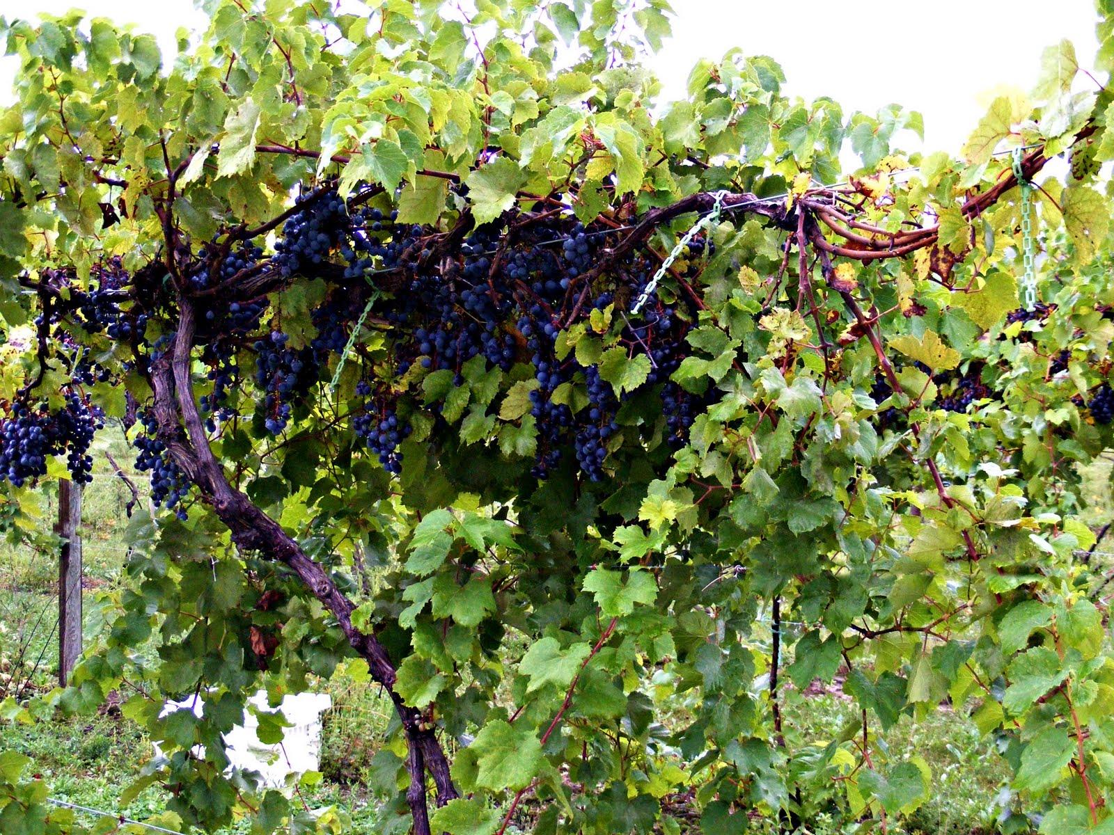 images of grape vines - photo #22