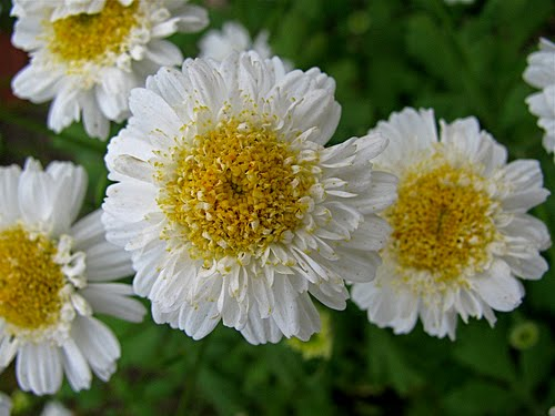 White chrysanthemum flower meaning for Flowers that mean life