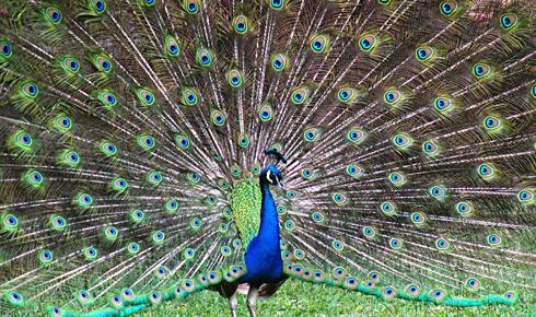 peacock honolulu zoo hawaii