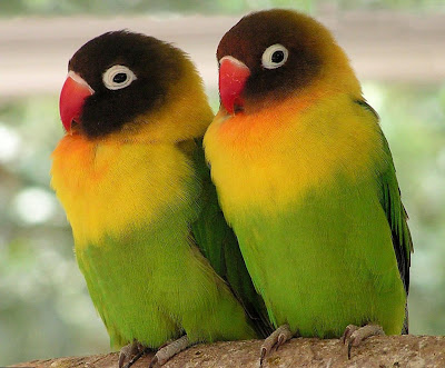 Lovebird Picture