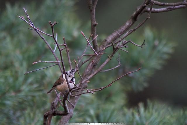 Kuifmees - Crested Tit - Lophophanes cristatus