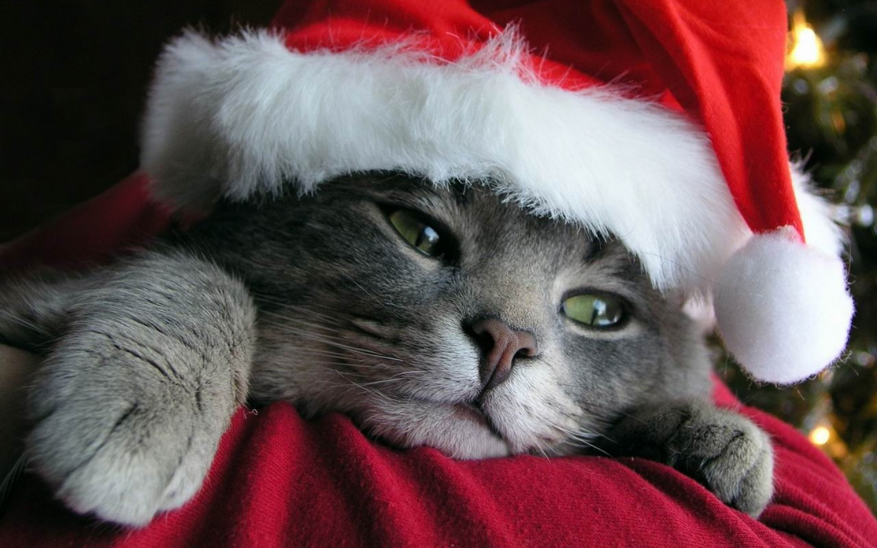 Christmas Cat Iphone Wallpaper Free Download Christmas Pets