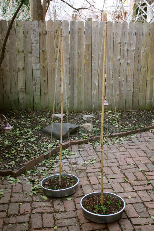 Pinterest Challenge: DIY Bean Teepee Garden Supports
