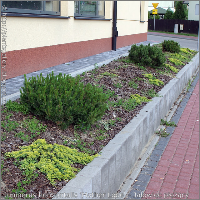 Juniperus horizontalis 'Mother Lode'  - Jałowiec płożący 'Mother Lode'