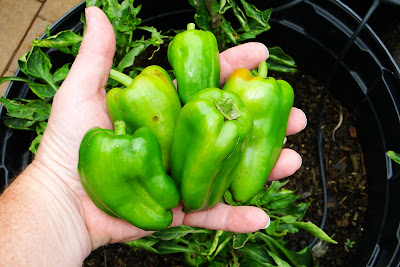 Costa Rican Peppers at Alejandro Farm