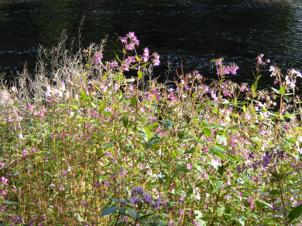 Sunday in September - Pink Wildflowers by the river