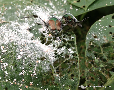 Eggshells as organic pest control on Japanese beetles